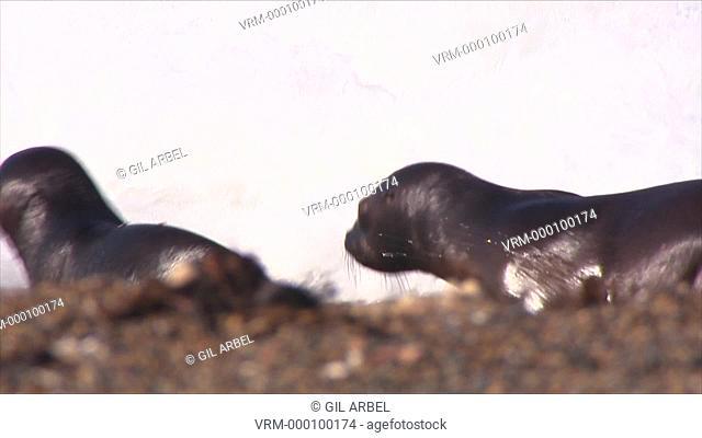 Patagonian sea lion Otaria flavescens pups enter surf. Punta Norte, Valdez Peninsula, Patagonia, Argentina
