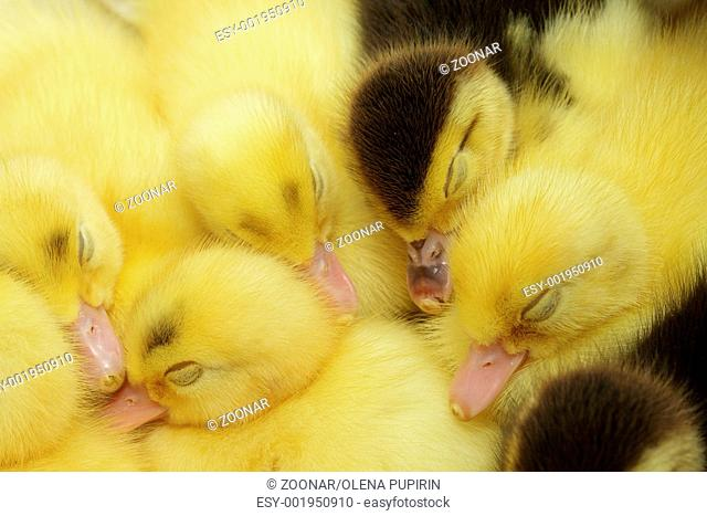Yellow and black ducklings sleepins