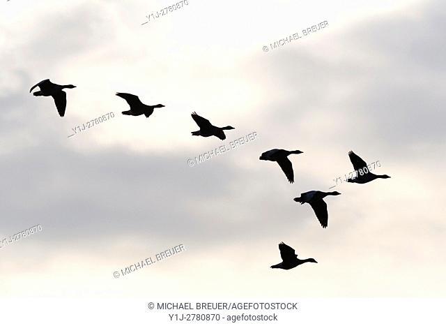 Greylag geese, Hesse, Germany, Europe
