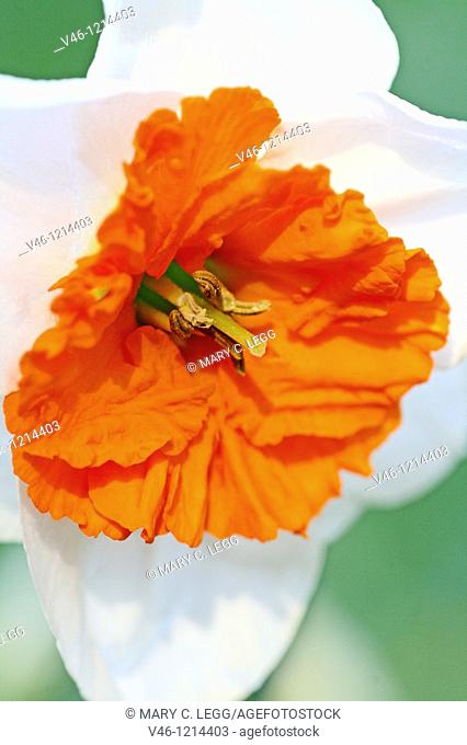 Narcissus with orange center  Early spring flower  Decorative garden plant with white petals and strong orange corona  Plant has toxic leaves and bulbs which...