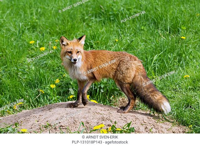 Red fox (Vulpes vulpes) at entrance of den in grassland in spring
