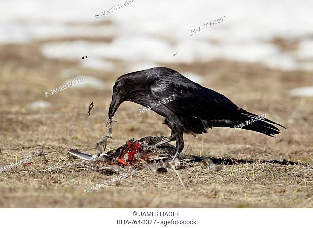 Common raven Corvus corax feeding on a duck, Yellowstone National Park, Wyoming, United States of America, North America