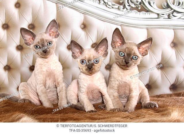 3 sitting Devon Rex kitten