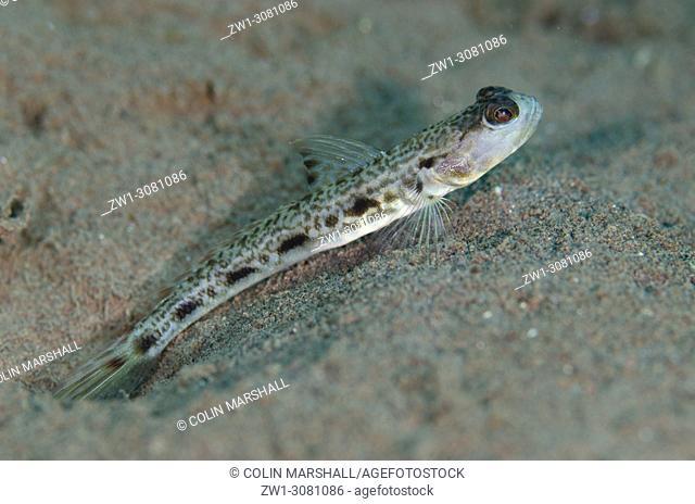 Longspot Shrimpgoby (Tomiyamichthys tanyspilus, Gobioidei family) by hole in sand, Batu Niti dive site, Seraya, near Tulamben, east Bali, Indonesia