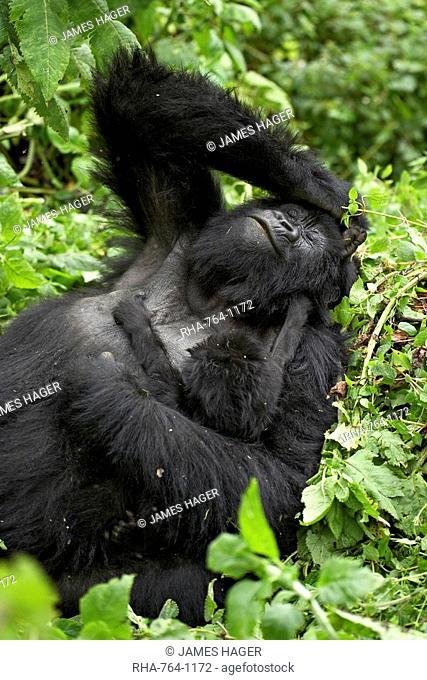 Mother and infant mountain gorilla Gorilla gorilla beringei, Amahoro A Group, Volcanoes National Park, Rwanda, Africa