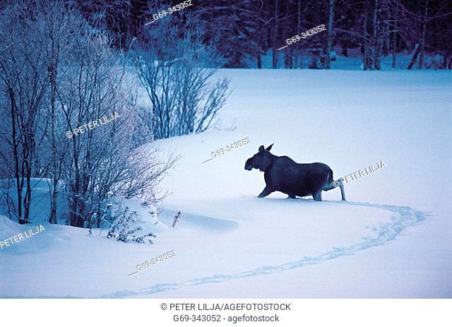 Elk (Alces alces) running in the snow. Bjurfors, Västerbotten, Sweden