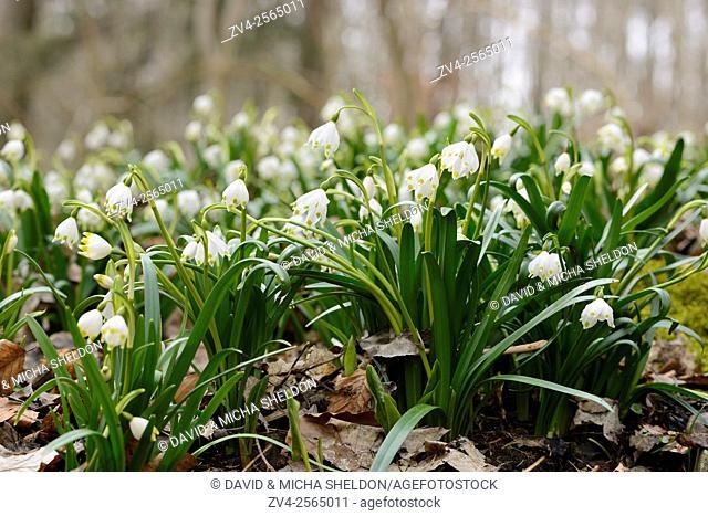 Many Spring Snowflake (Leucojum vernum) plants in a forest, Bavaria, Germany
