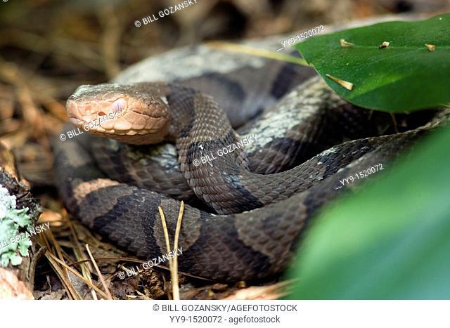 Copperhead Snake - Brevard, North Carolina, USA