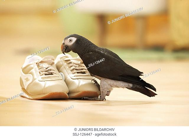 Timneh African Grey parrot at shoes - Psittachus erithacus timneh
