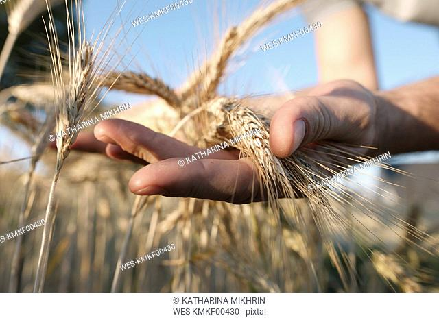 Man's hands holding wheat ears