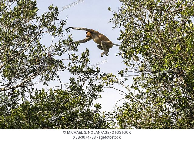Adult proboscis monkey, Nasalis larvatus, leaping in Tanjung Puting National Park, Borneo, Indonesia