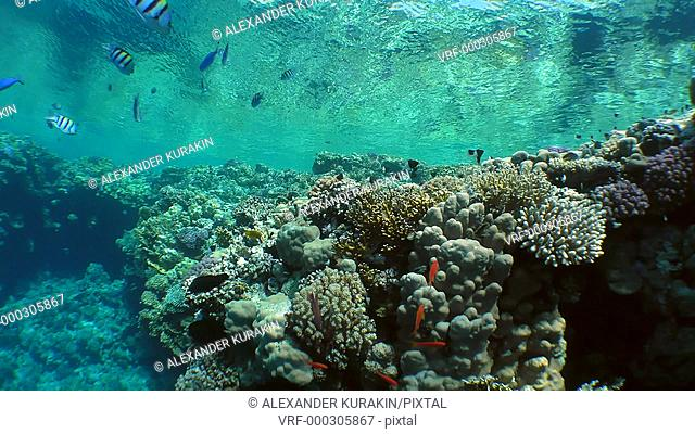 The camera slowly rises along the brightly colored top of the coral reef