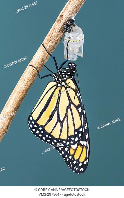 Newly emerged monarch butterfly drying it's wings. New Zealand