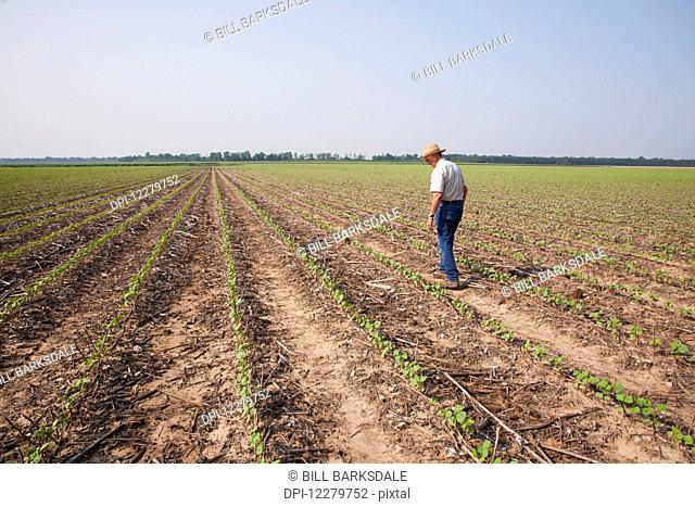 Crop consultant checking no till Roundup ready cotton at four leaf stage with dead weeds controlled by post emergence herbicide, most likely Roundup; England