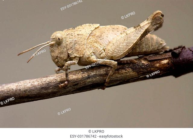 brown grasshopper Orthopterous in a brown sprig