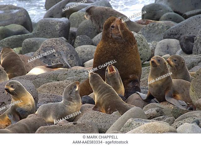 Northern Fur Seals ('beachmaster' male, females, and pups), (Callorhinus ursinus) St. Paul Island, Pribilofs, Alaska