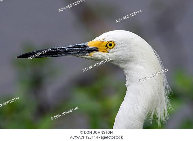 Snowy egret (Egretta thula), Anahuac NWR, Texas, USA
