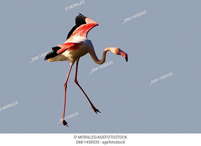 Greater Flamingo (Phoenicopterus ruber), Camargue, Bouches-du-Rhône, France