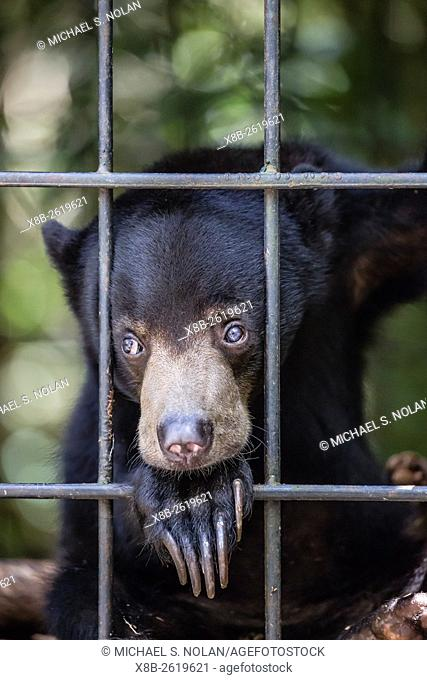 A young sun bear, Helarctos malayanus, confiscated from the pet trade, Camp Leakey, Tanjung Puting NP, Borneo, Indonesia
