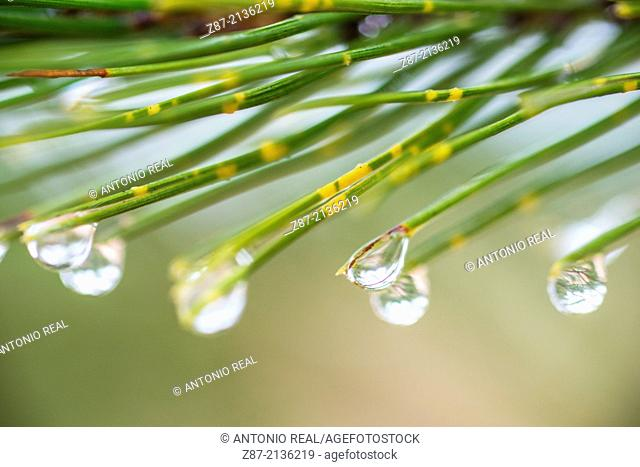 Water drops on pine needles, Almansa, Albacete province, Castilla-La Mancha, Spain