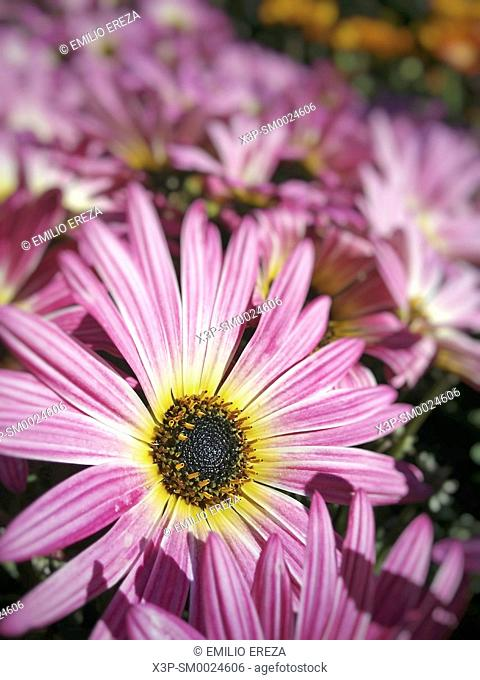 African daisy. Osteospermum