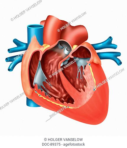 heart open , with all chambers