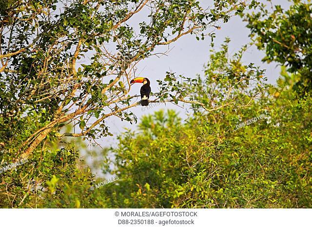 South America, Brazil, Mato Grosso, Pantanal area, Toco Toucan Ramphastos toco