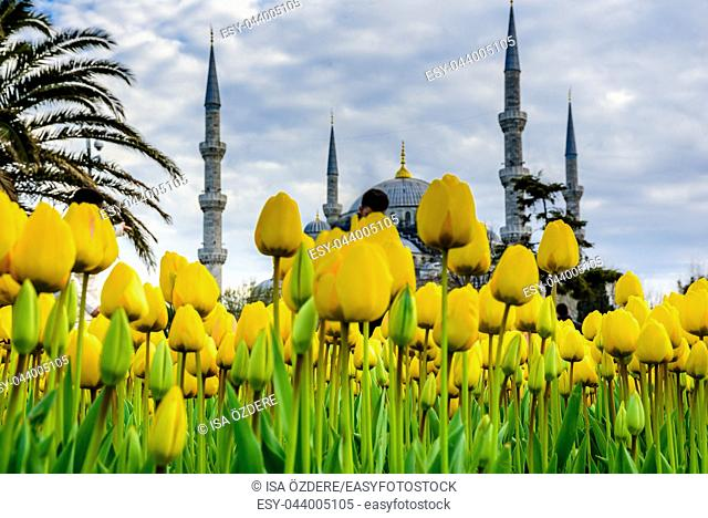 Traditional tulip festival in sultanahmet square,park,with view of sultan ahmet Camii(blue mosque)on background and colorful tulips on foreground