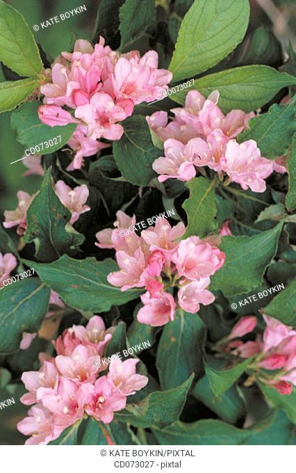 Flowers (Weigela praecox)