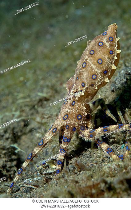 Blue-ringed Octopus (Hapalochlaena sp.) on black sand, Bronsel dive site, Lembeh Straits, Sulawesi, Indonesia