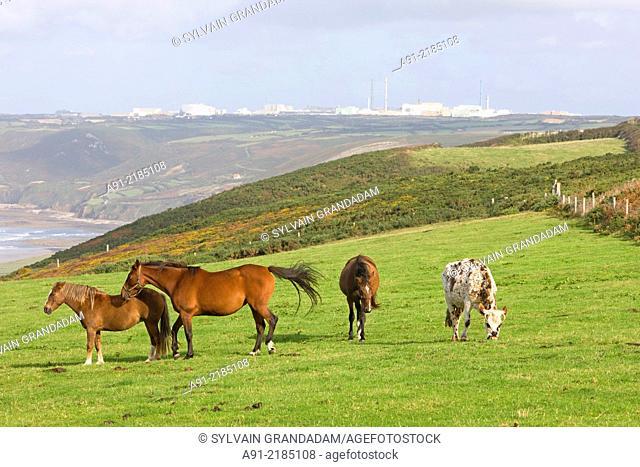 France, Normandy, Cotentin, La Hague district, cows and horses grazing near the shoreline