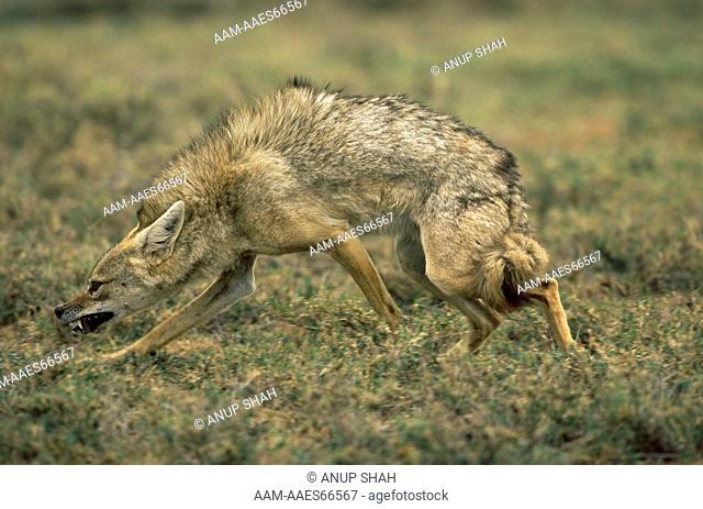 Golden Jackal (Canis aureus) in submissive posture, Ngorongoro conservation area, Tanzania