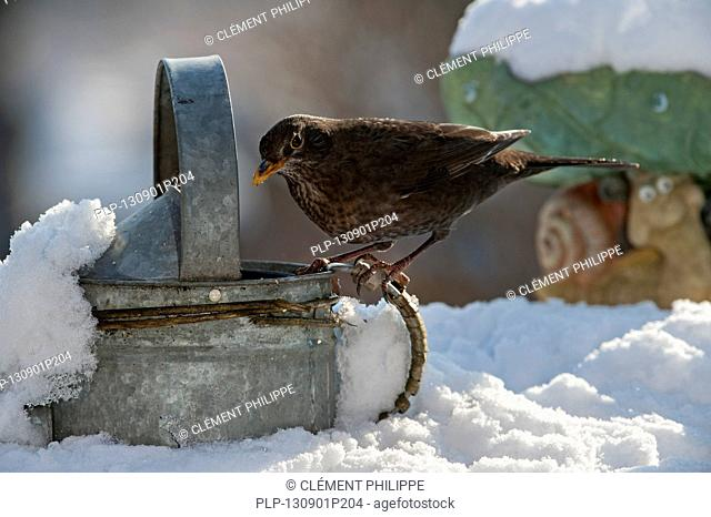 Common Blackbird / Eurasian Blackbird (Turdus merula) female perched on metal watering can in garden in the snow in winter