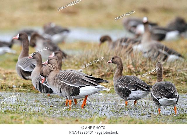 White-fronted goose Anser albifrons - Lower Rhine, Niederrhein, North Rhine-Westphalia, Nordrhein-Westfalen, Germany, Europe
