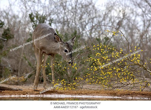 White-tailed Deer (Odocoileus virginianus) young button buck at water hole during spring Santa Clara Ranch McCook, Texas