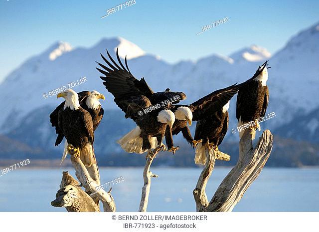 Bald Eagles (Haliaeetus leucocephalus) perched, mountain backdrop, Kachemak Bay State Park, Kenai Peninsula, Alaska, USA