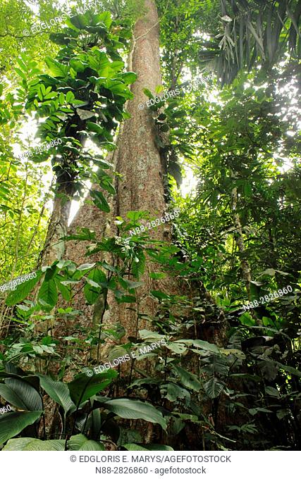 Gyranthera caribensis the tallest tree in the high jungle Henri Pittier National Park Venezuela