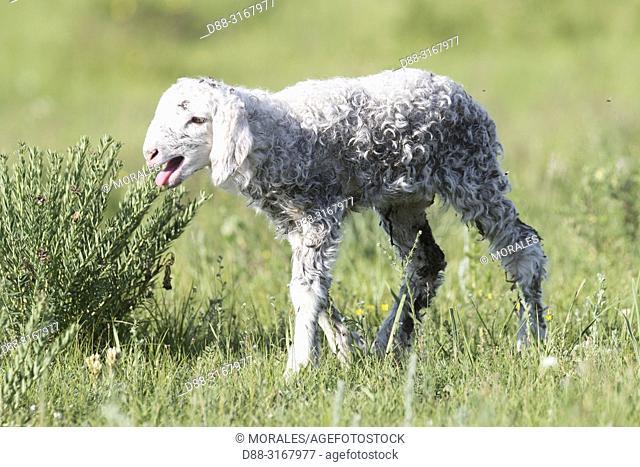 China, Inner Mongolia, Hebei Province, Zhangjiakou, Bashang Grassland, Sheep just born
