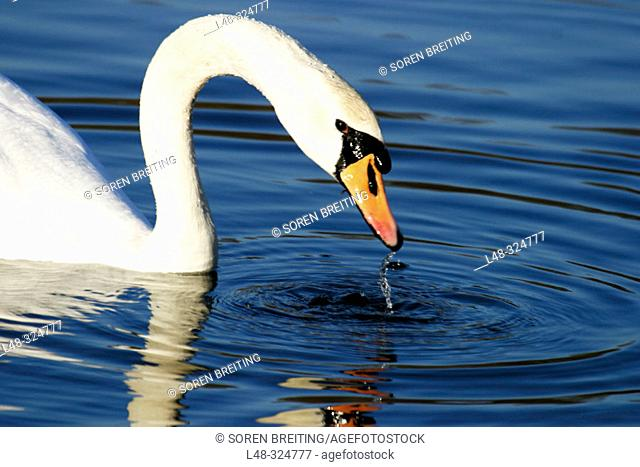 Mute swane (Cygnus olor), a white swan, taking head up of waterwith dripping water from bill in close-up. In lake