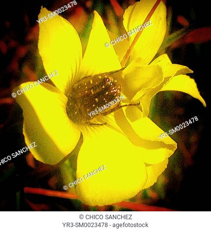 A bug eats nectar from a yellow flower in Prado del Rey, Sierra de Cadiz, Andalusia, Spain