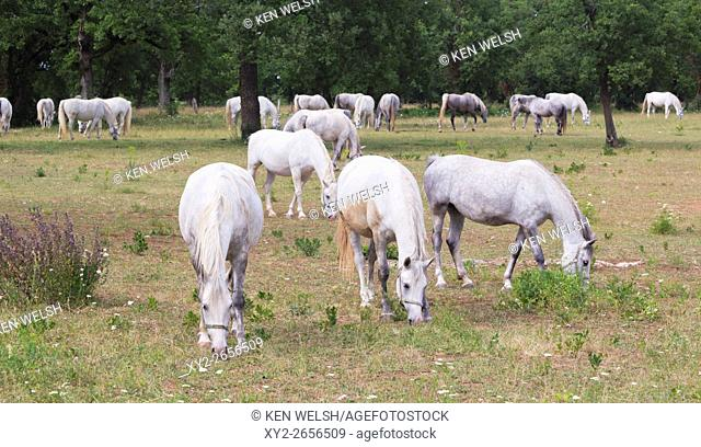 Lipica, near Sezana, Slovenian Littoral, Slovenia. Lipizanner or Lipizan horses at the Lipica Stud Farm
