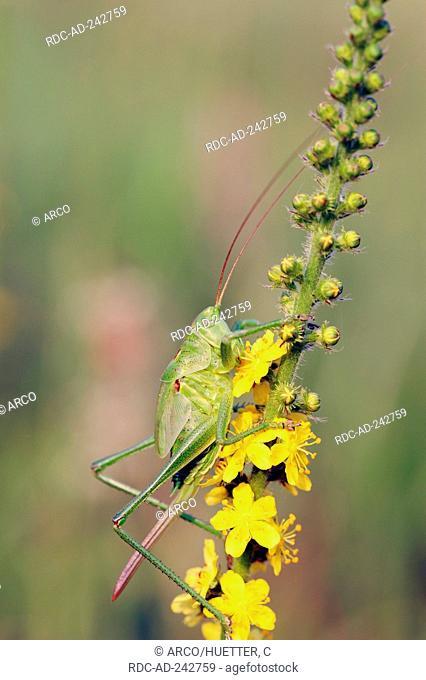 Great Green Bush-cricket larva female and Agrimony North Rhine-Westphalia Germany Tettigonia viridissima Agrimonia eupatoria Cocklebur Stickwort