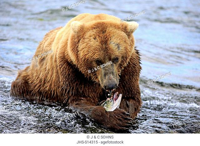 Grizzly Bear, (Ursus arctos horribilis), adult feeding in water, Brookes River, Katmai Nationalpark, Alaska, USA, North America