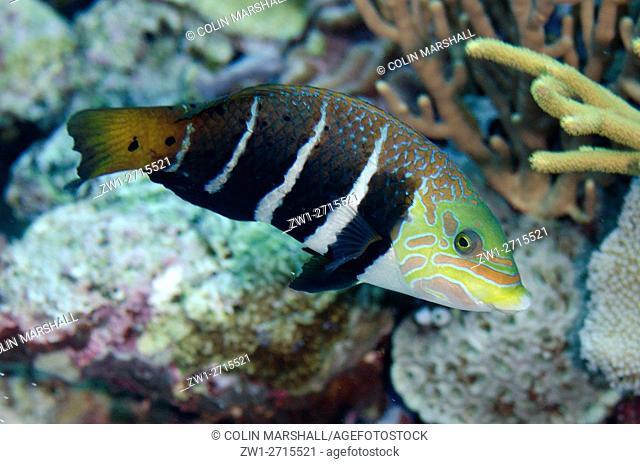 Barred Thicklip Wrasse (Hemigymnus fasciatus), Dewara Slope dive site, Forgotten Islands, Dewara Island, near Tanimbar, Banda Sea, Indonesia
