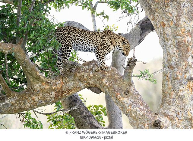 Leopard (Panthera pardus) standing in a fig tree, Maasai Mara National Reserve, Kenya