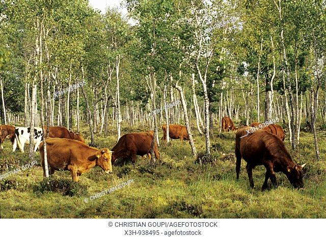 vaches dans un bois de bouleaux,ile de Saaremaa,region de Saare,Estonie,pays balte,europe du nord