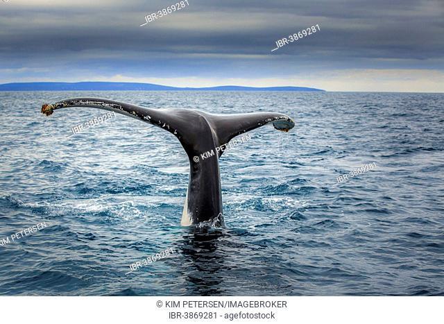 Fluke of a Southern Right Whale (Eubalaena australis), near Busselton, Western Australia