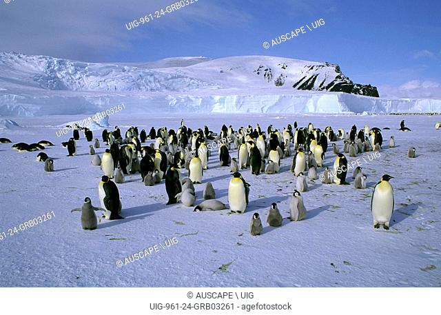 Emperor penguin, Aptenodytes forsteri, colony, adults and chicks, Cape Roget, Ross Sea, Antarctica. (Photo by: Auscape/UIG)