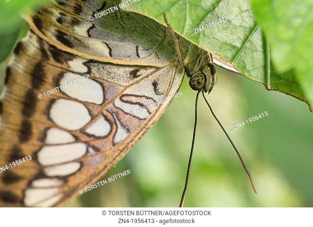 Butterfly Sitting Under a Leaf in Botanical Garden Erfurt. Germany