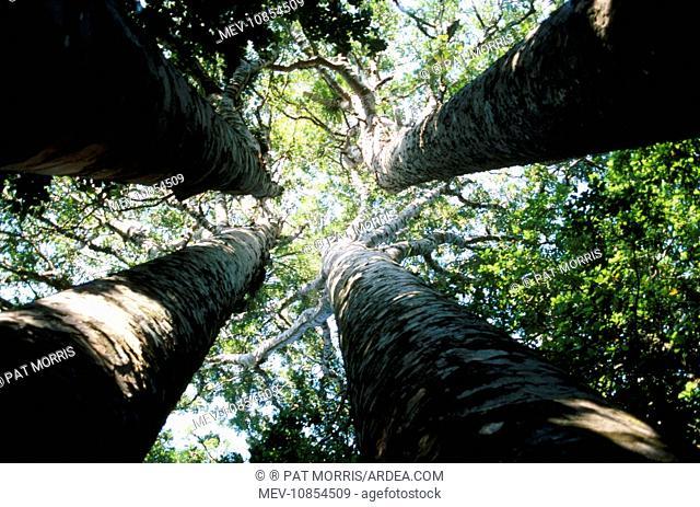 Kauri Trees (Agathis australis). New Zealand